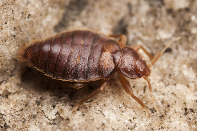 bed bugs image