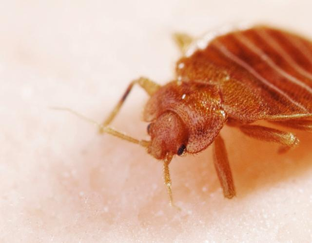 Bed bug close up image