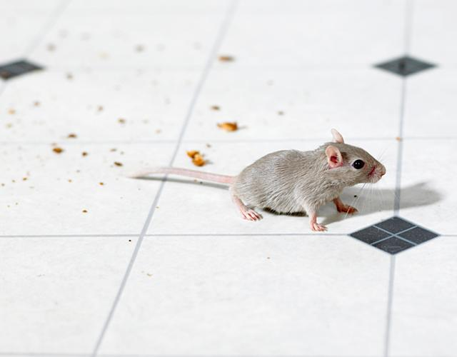 mouse on floor with crumbs